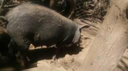 Porca pirapitinga