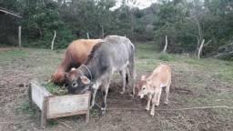 Vaca jersey e novilhas