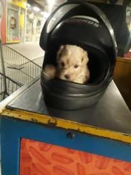 Filhote Femia poodle toy