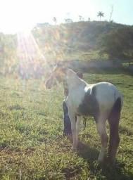 Vendo ou troco por bezerros esse cavalo