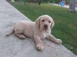 Labrador amarelo, preto e chocolate com garantia de saúde em contrato