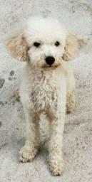 Poodle macho procura uma namorada