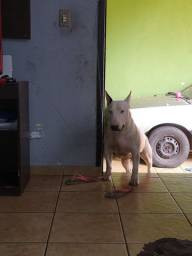 Procuro fêmea, Bull terrier, pra cruzar