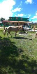Vende-se cavalo selado ou troca por carneiro