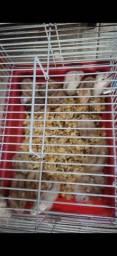 Hamster chinês ( anao russo) no atacado sob emcomenda