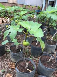 Mudas frutíferas e ornamentais PREÇO DE ATACADO