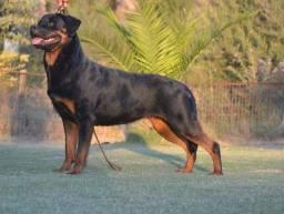 Título do anúncio: Filhotes de Rottweiler alta genética