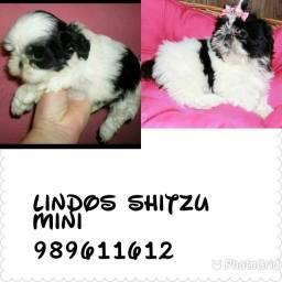 Shitzu raríssimos mini