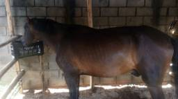 Vende cavalo manga larga marchador