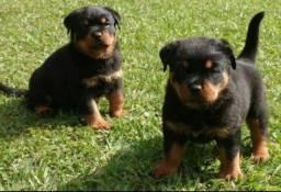 Venha garantir seu filhote de Rottweiler