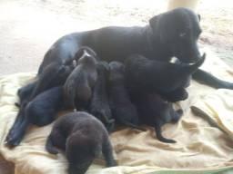 Filhotes de Labrador (destilado) p/ Doação.