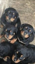 Filhotinhos de Rottweiler à pronta entrega com garantias!
