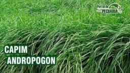Capim Andropogon