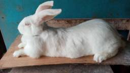 Coelha gigante crioula Adulta