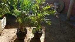Lidos jaros com palmeiras os dois jarros com palmeiras ? reais