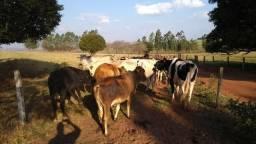 Vendo Vacas Leiteiras