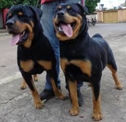Rottweiler Alemão Cabeça de Touro 1.000,00
