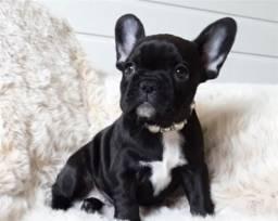 Procuro Filhote Bulldog Francês (fêmea)