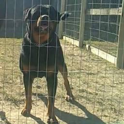Rottweiler p/ (Cobertura)