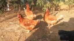 Vendo galinhas iza braw poedeiras