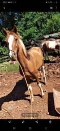 Vendo cavalo mangá larga