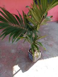 Título do anúncio: Mini palmeiras  imperial