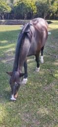 Cavalo  macho  castrado