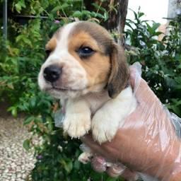 Filhotes de Beagle mini 13 polegadas