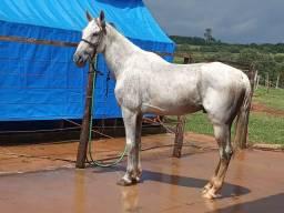 Cavalo Castrado Mangalarga Marchador