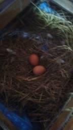 Ovos caipiras orgânico a venda !