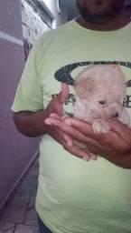 Última fêmea Poodle micro abricó
