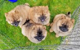 Chow Chow - expetaculares filhotes!!!