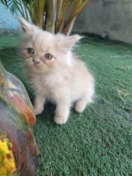 Filhotes de gatos persa macho