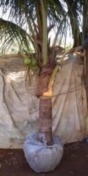 Cocô anão produzindo