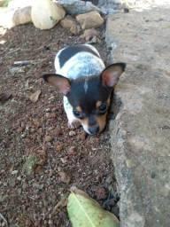Cachorro pinscher 01 macho