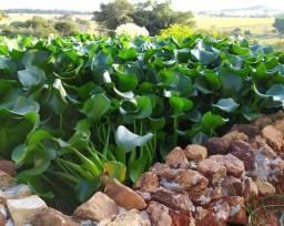 Mudas de Aguapé (Eichhornia crassipes)
