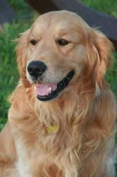 Procuro filhote de Golden Retriever
