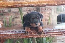 Filhotes Top de Rottweiler
