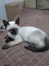 Gato siamês filhote precisa de lar.