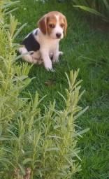 # Amor beagle filhote porte pequeno com vacina importada e pedigree