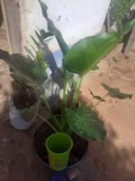 Planta linda