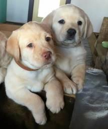 Filhotes de Labrador macho e fêmea disponíveis