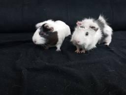 Vendo dois porquinhos gaiola e grades