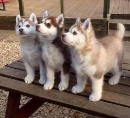 Husky Siberiano machos e fêmea disponíveis!