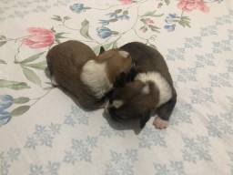 Cachorro shitszu (vendidos)