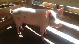 Casal de porcos reprodutores