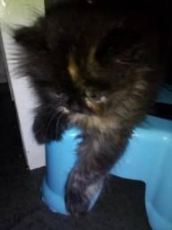 Procuro gato persa para comprar ou trocar !