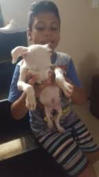 Vendo pitbull fêmea vacinada