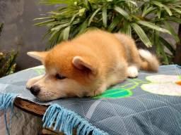 Cachorro da raça Akita Inu
