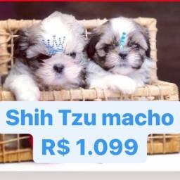 P-R-O-M-O-Ç-Ã-O lindos filhotes de Shih Tzu Contrato Garantia Procedência